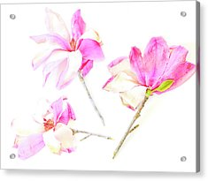 Acrylic Print featuring the photograph Three Magnolia Flowers by Linde Townsend