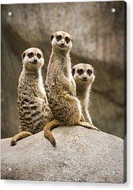 Three Meerkats Acrylic Print