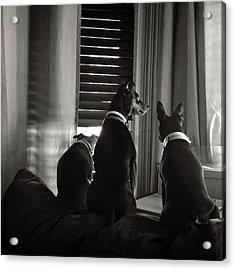 Three Min Pin Dogs Acrylic Print