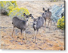 Acrylic Print featuring the photograph Three Mule Deer In High Desert by Frank Wilson