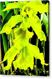 Three Orchids In Yellow Acrylic Print