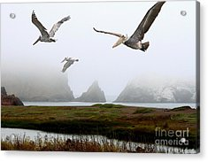 Three Pelicans Acrylic Print by Wingsdomain Art and Photography