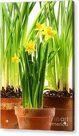 Three Pots Of Daffodils On White  Acrylic Print by Sandra Cunningham