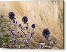 Three Purple Echinops Acrylic Print by Helga Novelli