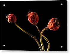 Three Rose Hips Acrylic Print