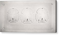 Three Sand Dollars Acrylic Print