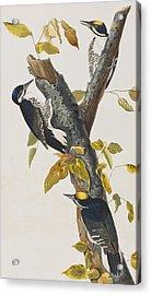 Three Toed Woodpecker Acrylic Print by John James Audubon