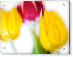 Three Tulips Acrylic Print by Janet Burdon