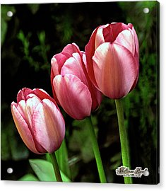 Acrylic Print featuring the photograph Three Tulips by William Havle
