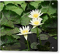 Three Water Lilies Acrylic Print