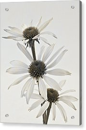 Three White Coneflowers Acrylic Print by Sandra Foster