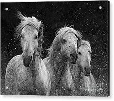 Three White Horses Splash Acrylic Print by Carol Walker