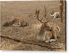 Three Deer Resting Acrylic Print