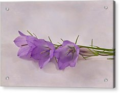 Three Wild Campanella Blossoms - Macro Acrylic Print