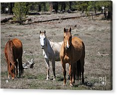 Three Wild Horses Acrylic Print by Donna Greene