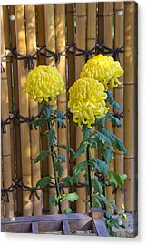 Three Yellow Blooms Acrylic Print by Richard Baker