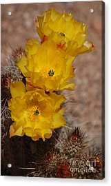 Acrylic Print featuring the photograph Three Yellow Cactus Flowers by Frank Stallone