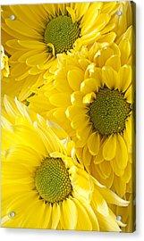 Three Yellow Daisies  Acrylic Print by Garry Gay