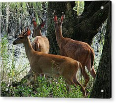 Three Young Bucks Acrylic Print