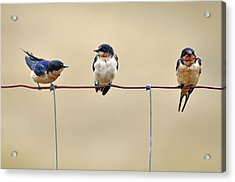 Three Young Swallows Acrylic Print by Laura Mountainspring
