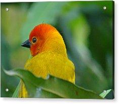Through A Child's Eyes - Close Up Yellow And Orange Bird 2 Acrylic Print by Exploramum Exploramum