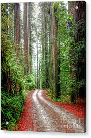 Through The Redwood Forest Acrylic Print
