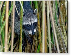 Through The Reeds - Raccoon Acrylic Print