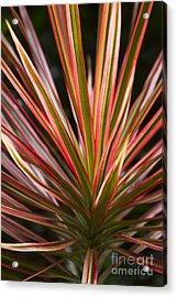 Ti Plant Cordyline Terminalis Red Ribbons Acrylic Print by Sharon Mau