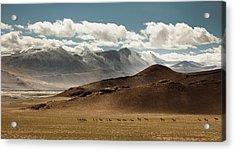 Tibetan Wild Horses Acrylic Print by Sebastian Wahlhuetter