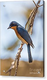 Tickells Blue Flycatcher, India Acrylic Print by B. G. Thomson
