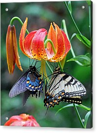 Tiger And Black Swallowtails On Turk's Cap Lilly Acrylic Print