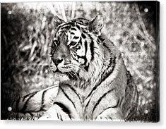 Tiger Acrylic Print by Angela Aird