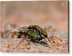 Acrylic Print featuring the photograph Tiger Beetle by Richard Patmore