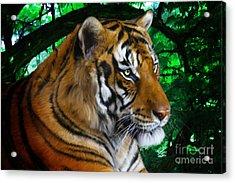 Tiger Contemplation Acrylic Print