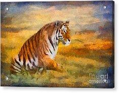 Tiger Dreams Acrylic Print