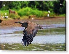 Tiger Heron Acrylic Print