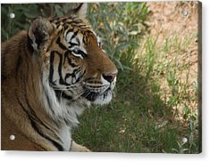 Tiger I Acrylic Print by Susan Heller