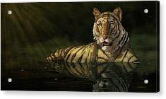 Tiger In The Water Acrylic Print by Kathie Miller