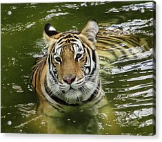 Acrylic Print featuring the photograph Tiger In The Water by Pamela Walton