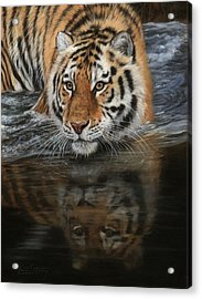 Tiger In Water Acrylic Print
