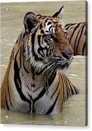 Tiger In Water Acrylic Print by Leena Kewlani