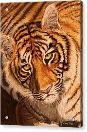 Acrylic Print featuring the drawing Tiger by Karen Ilari