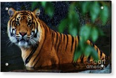Tiger Land Acrylic Print