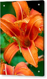 Tiger Lilly  Acrylic Print by Jame Hayes