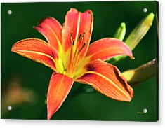 Acrylic Print featuring the photograph Tiger Lily by Christina Rollo