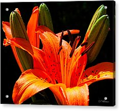 Tiger Lily Acrylic Print by Christopher Holmes
