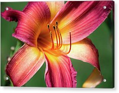 Tiger Lily Close Up Acrylic Print