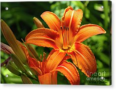 Tiger Lily Explosion Acrylic Print