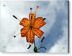 Tiger Lily In A Shower Acrylic Print