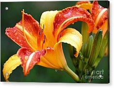 Tiger Lily Profile Acrylic Print by Lisa Kilby